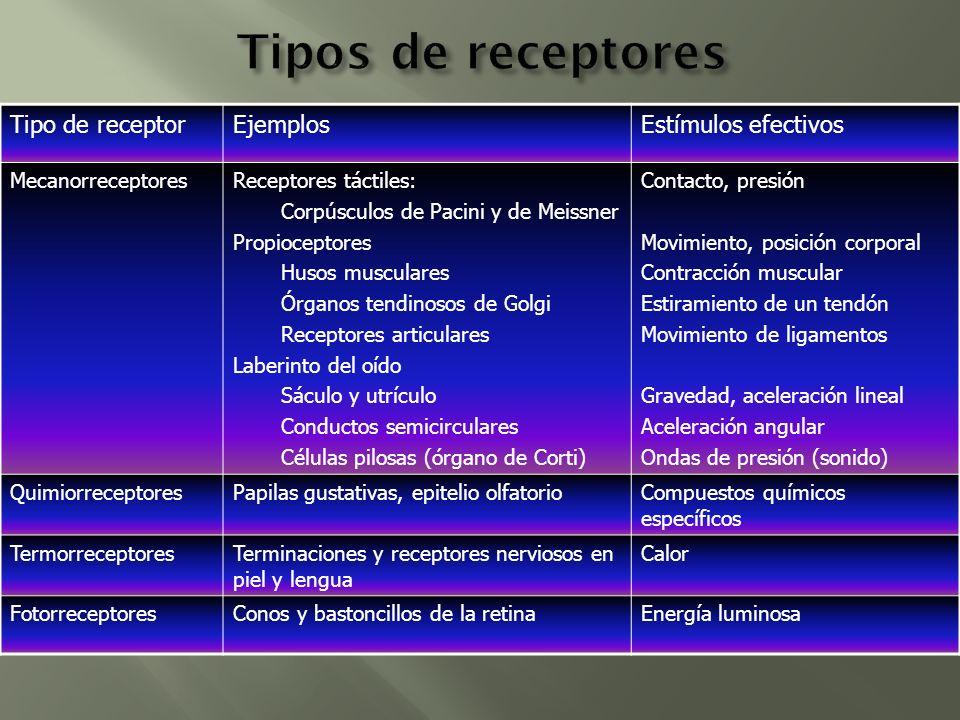 Tipo de receptorEjemplosEstímulos efectivos MecanorreceptoresReceptores táctiles: Corpúsculos de Pacini y de Meissner Propioceptores Husos musculares