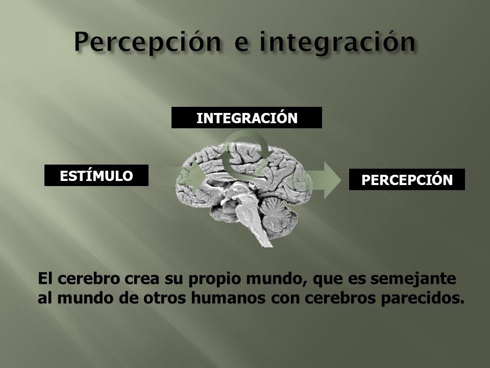 ESTÍMULO PERCEPCIÓN INTEGRACIÓN El cerebro crea su propio mundo, que es semejante al mundo de otros humanos con cerebros parecidos.