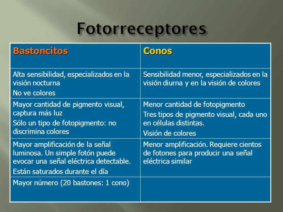 BastoncitosConos Alta sensibilidad, especializados en la visión nocturna No ve colores Sensibilidad menor, especializados en la visión diurna y en la