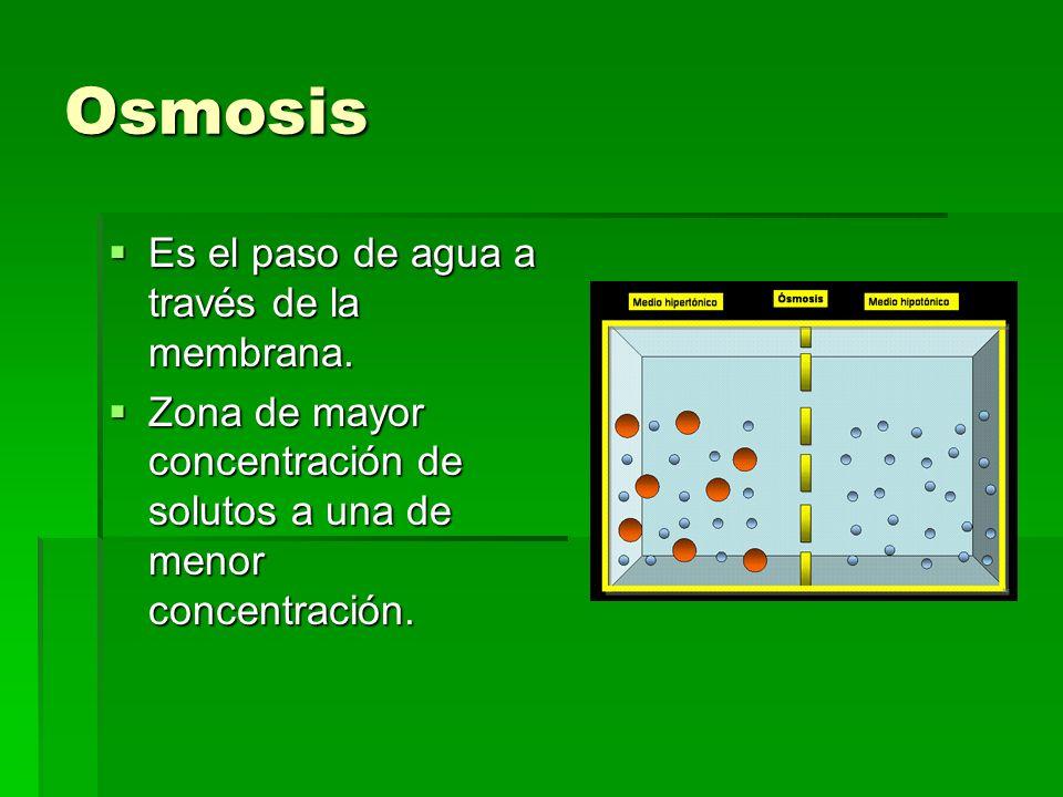 Osmosis Es el paso de agua a través de la membrana. Es el paso de agua a través de la membrana. Zona de mayor concentración de solutos a una de menor