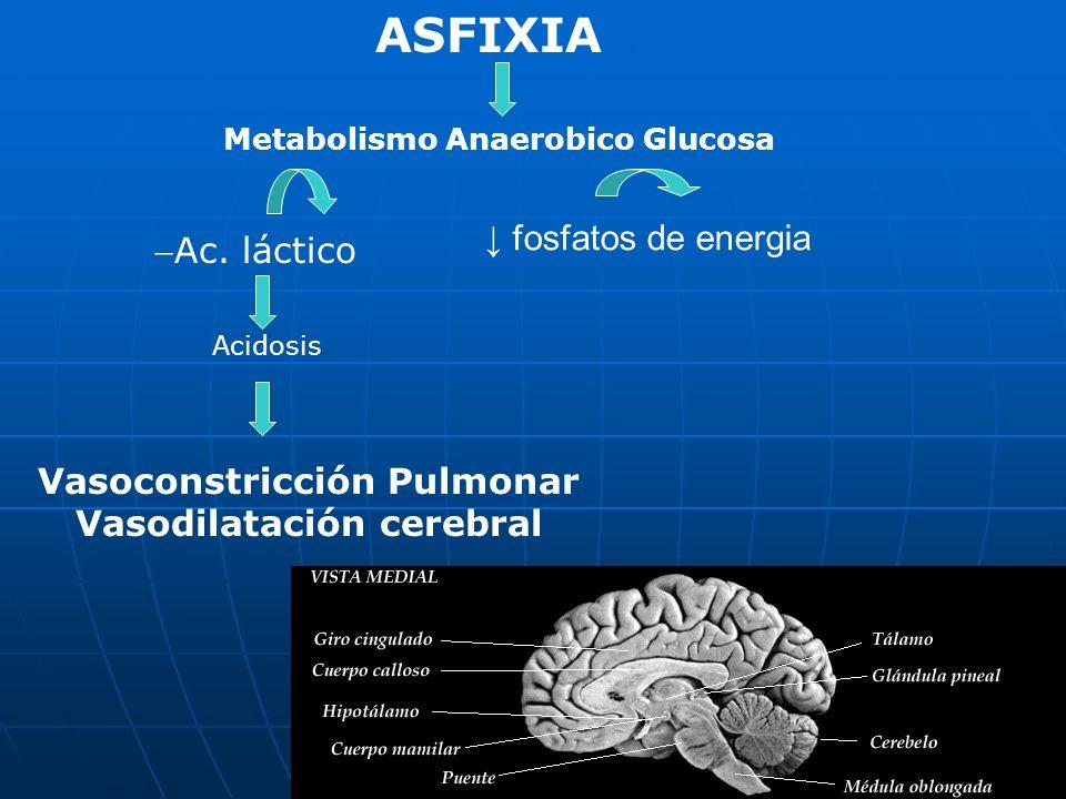 ASFIXIA Metabolismo Anaerobico Glucosa Ac. láctico fosfatos de energia Acidosis Vasoconstricción Pulmonar Vasodilatación cerebral