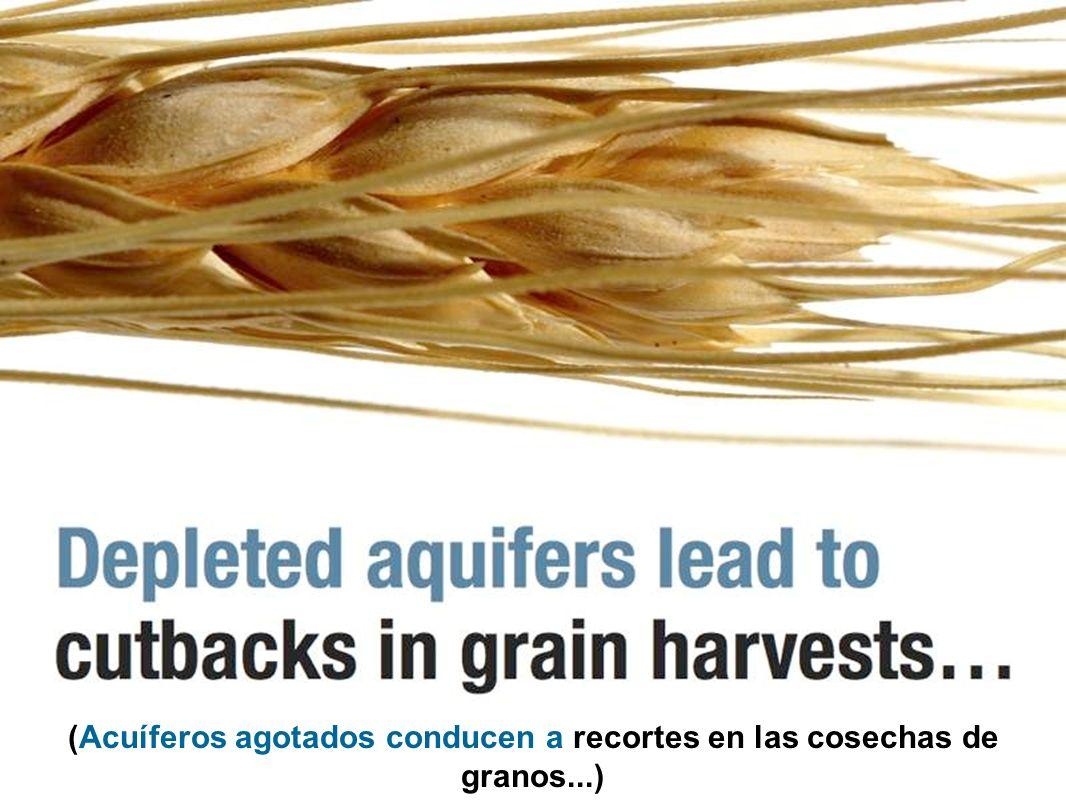 (Acuíferos agotados conducen a recortes en las cosechas de granos...)