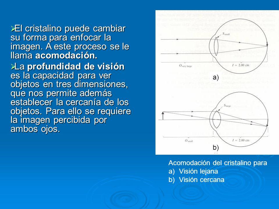a) b) Acomodación del cristalino para a)Visión lejana b)Visión cercana El cristalino puede cambiar su forma para enfocar la imagen. A este proceso se