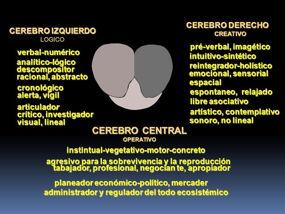 CEREBRO IZQUIERDO LOGICO CEREBRO DERECHO CREATIVO verbal-numérico pré-verbal, imagético analítico-lógicodescompositor racional, abstracto intuitivo-sintético reintegrador-holístico emocional, sensorial cronológico alerta, vígil espacial espontaneo, relajado articulador crítico, investigador libre asociativo artístico, contemplativo visual, lineal sonoro, no lineal CEREBRO CENTRAL OPERATIVO instintual-vegetativo-motor-concreto agresivo para la sobrevivencia y la reproducción tabajador, profesional, negocian te, apropiador tabajador, profesional, negocian te, apropiador planeador económico-político, mercader administrador y regulador del todo ecosistémico