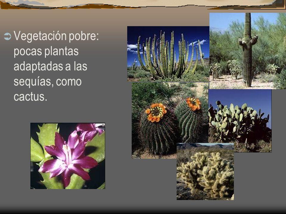 Vegetación pobre: pocas plantas adaptadas a las sequías, como cactus.