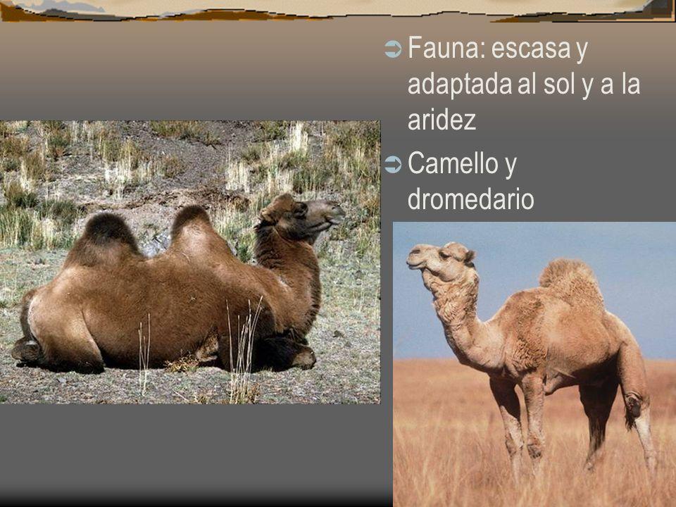 Fauna: escasa y adaptada al sol y a la aridez Camello y dromedario