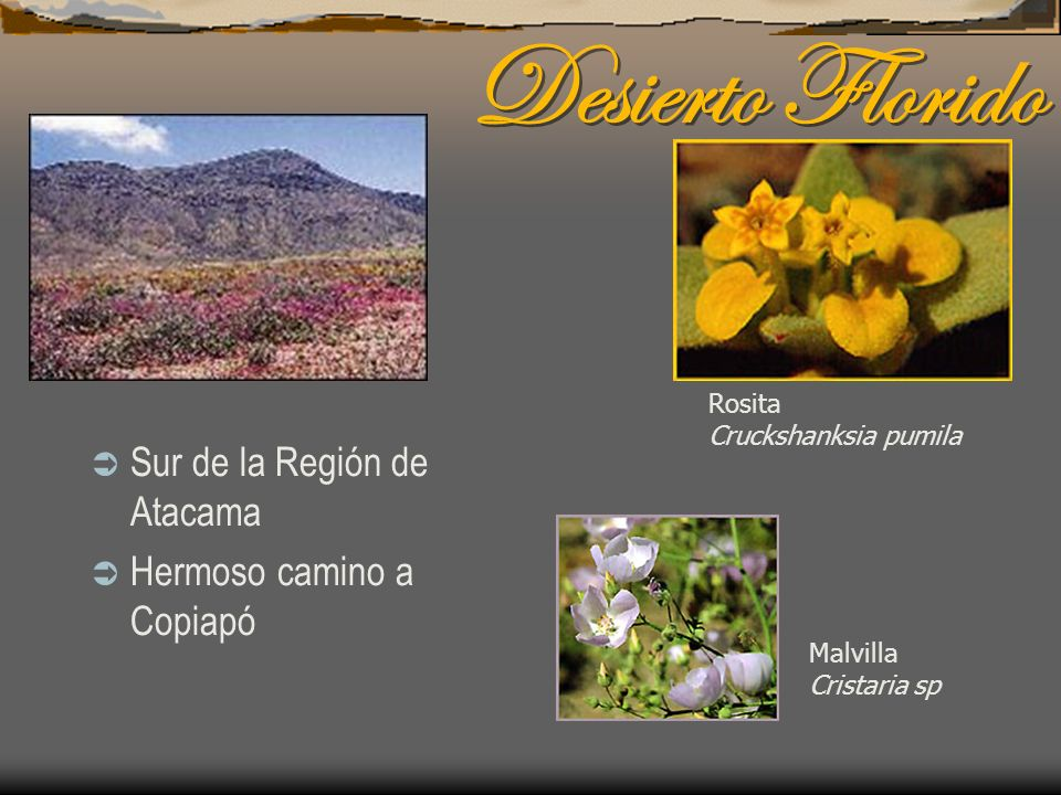 Desierto Florido Sur de la Región de Atacama Hermoso camino a Copiapó Malvilla Cristaria sp Rosita Cruckshanksia pumila