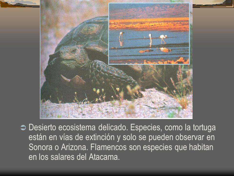 Desierto ecosistema delicado. Especies, como la tortuga están en vías de extinción y solo se pueden observar en Sonora o Arizona. Flamencos son especi