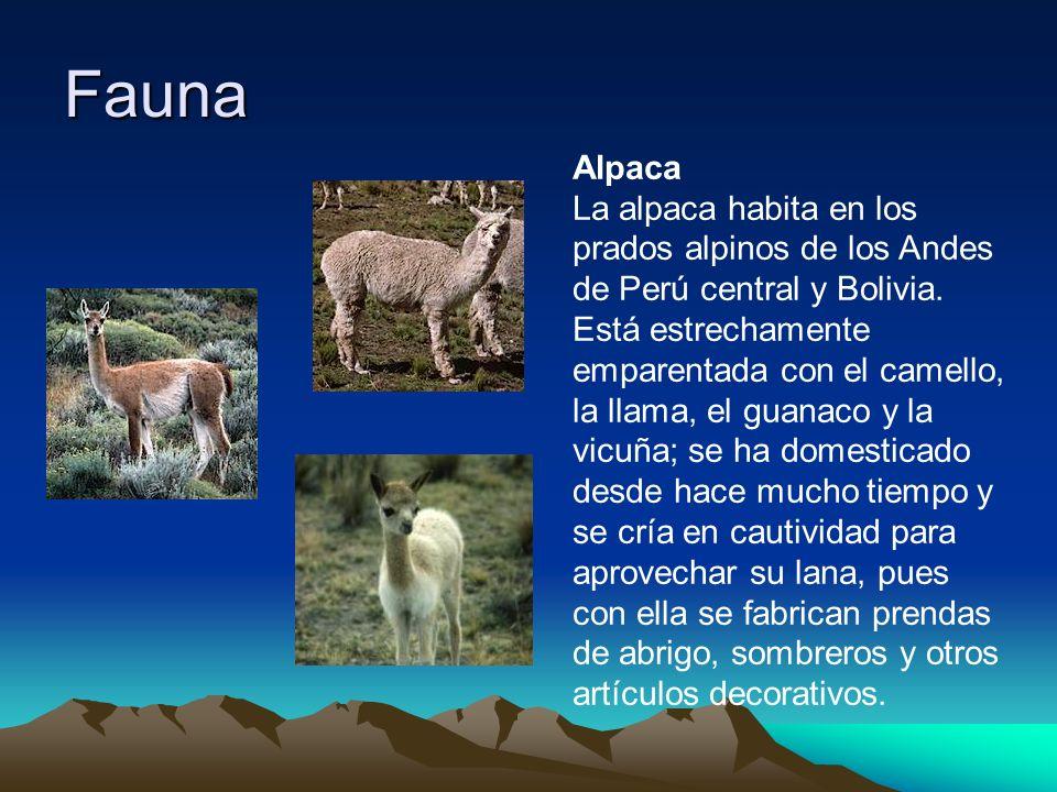 Fauna Alpaca La alpaca habita en los prados alpinos de los Andes de Perú central y Bolivia. Está estrechamente emparentada con el camello, la llama, e