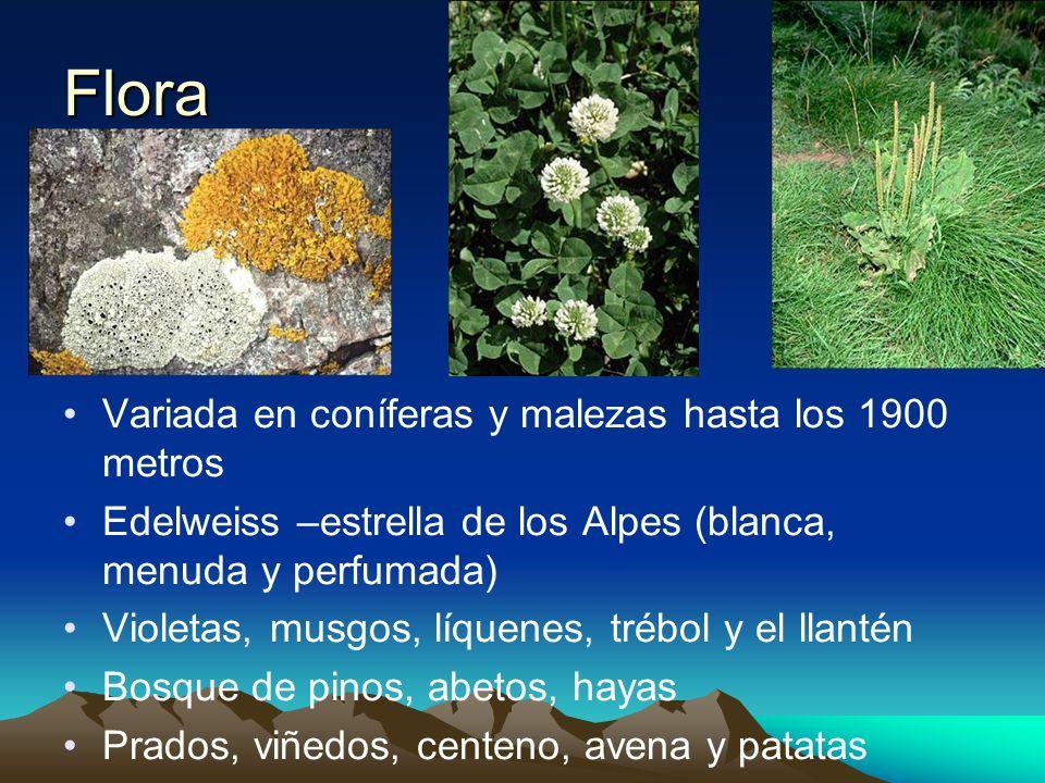 Flora Variada en coníferas y malezas hasta los 1900 metros Edelweiss –estrella de los Alpes (blanca, menuda y perfumada) Violetas, musgos, líquenes, t