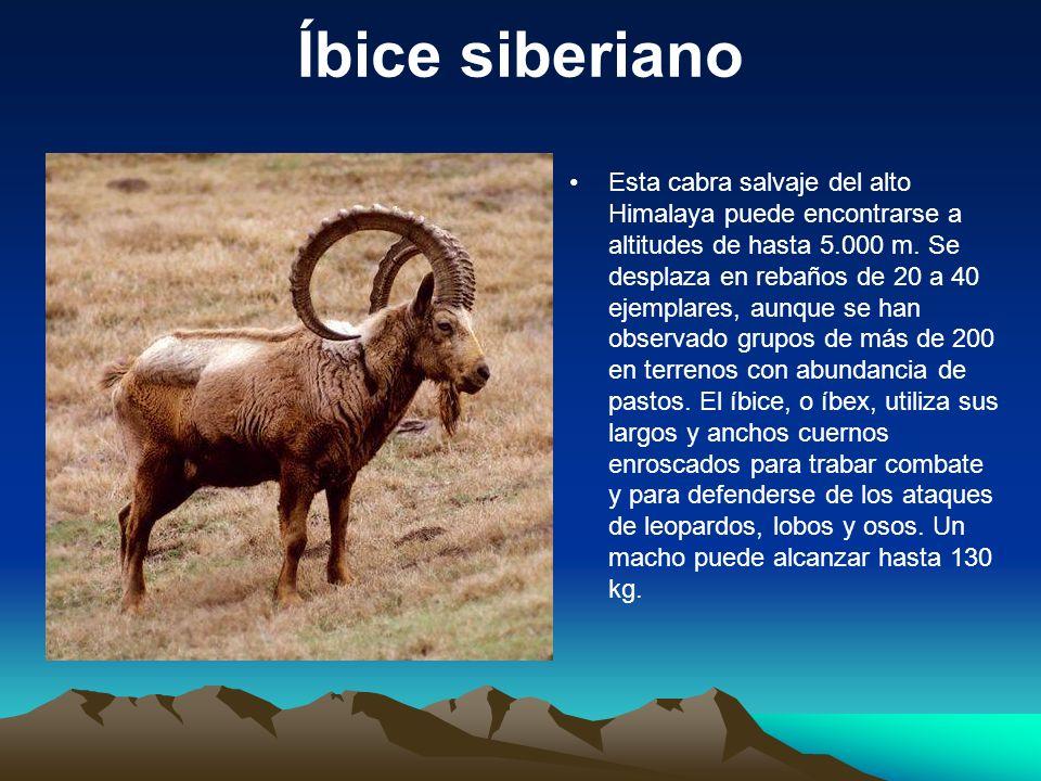 Íbice siberiano Esta cabra salvaje del alto Himalaya puede encontrarse a altitudes de hasta 5.000 m. Se desplaza en rebaños de 20 a 40 ejemplares, aun