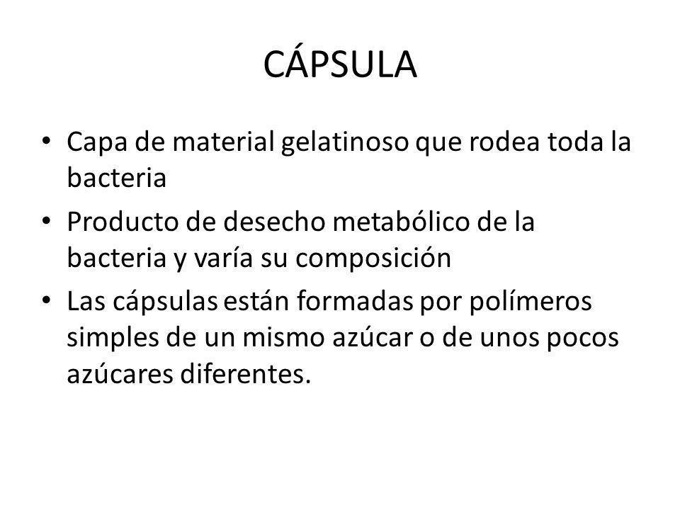 CÁPSULA Capa de material gelatinoso que rodea toda la bacteria Producto de desecho metabólico de la bacteria y varía su composición Las cápsulas están