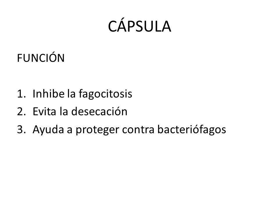 CÁPSULA FUNCIÓN 1.Inhibe la fagocitosis 2.Evita la desecación 3.Ayuda a proteger contra bacteriófagos