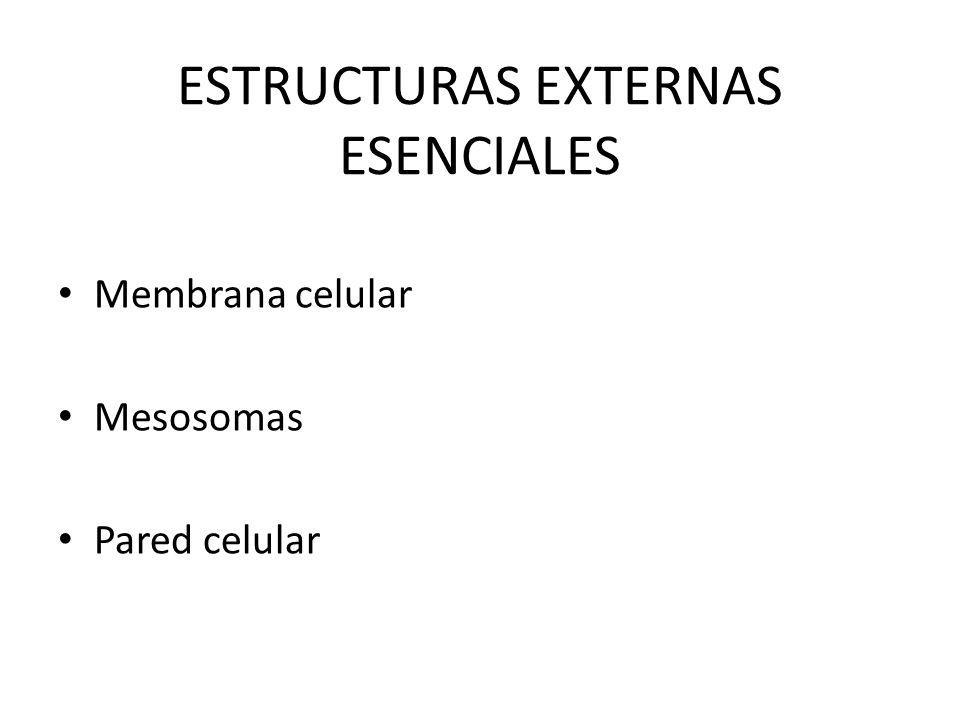 ESTRUCTURAS EXTERNAS ESENCIALES Membrana celular Mesosomas Pared celular