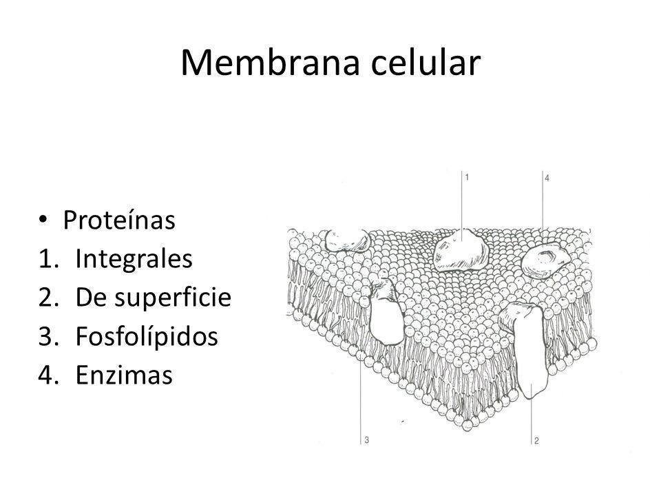 Membrana celular Proteínas 1.Integrales 2.De superficie 3.Fosfolípidos 4.Enzimas
