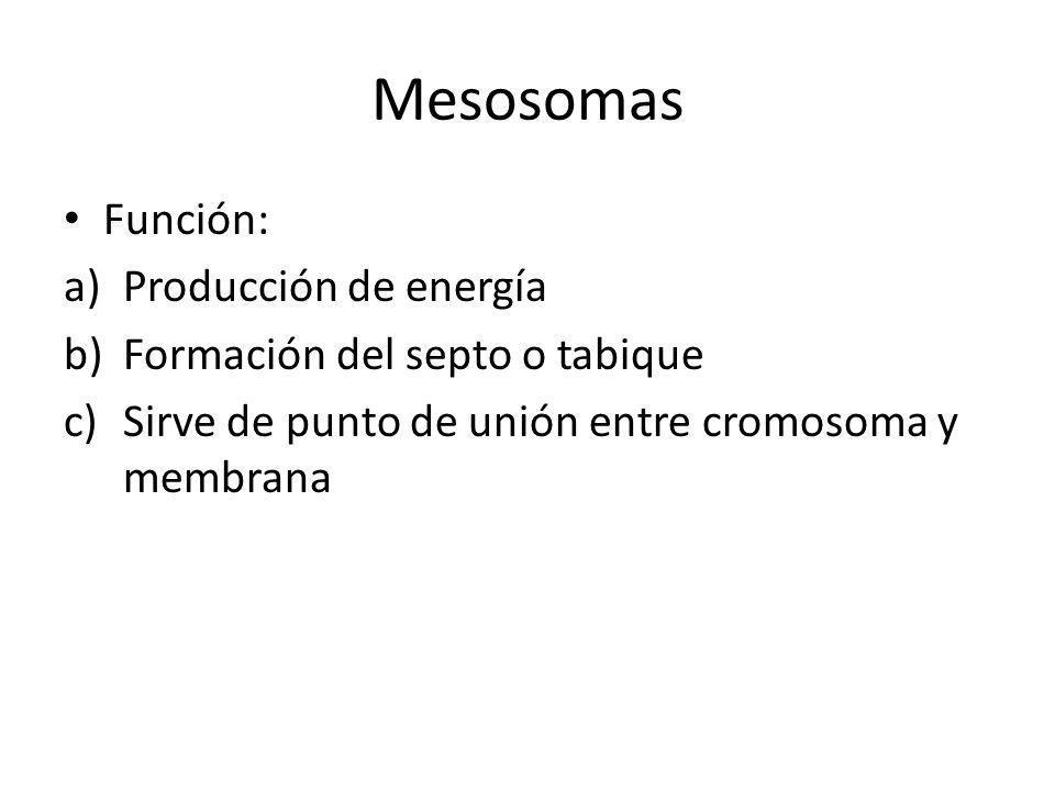 Mesosomas Función: a)Producción de energía b)Formación del septo o tabique c)Sirve de punto de unión entre cromosoma y membrana