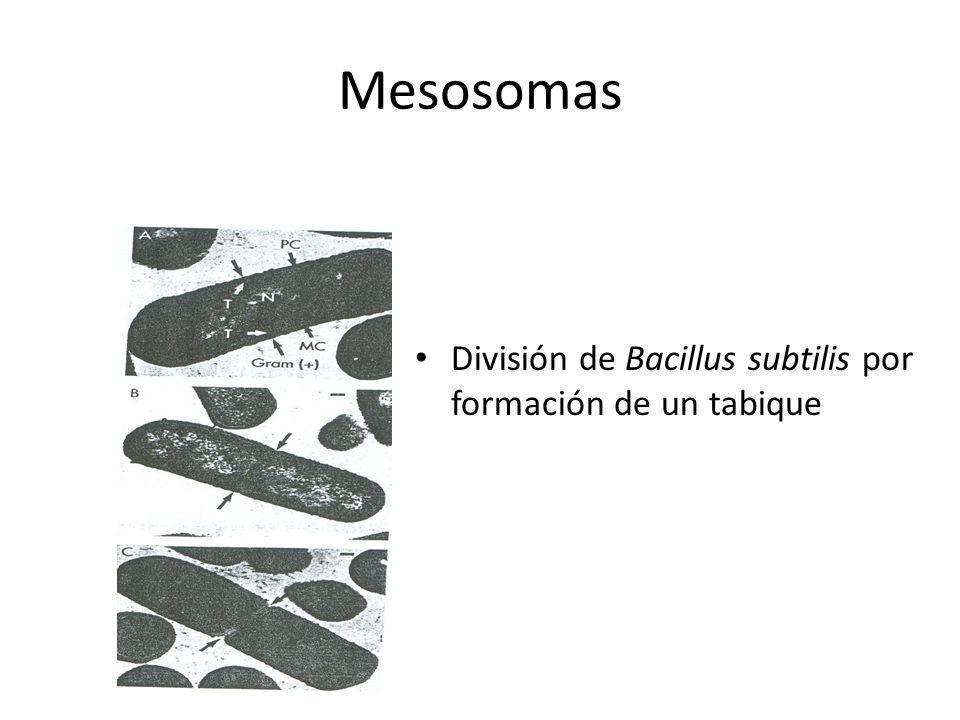 Mesosomas División de Bacillus subtilis por formación de un tabique