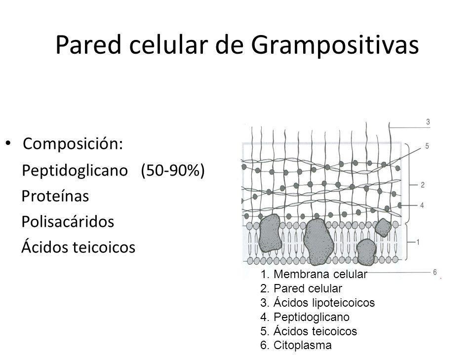 Pared celular de Grampositivas Composición: Peptidoglicano (50-90%) Proteínas Polisacáridos Ácidos teicoicos 1. Membrana celular 2. Pared celular 3. Á