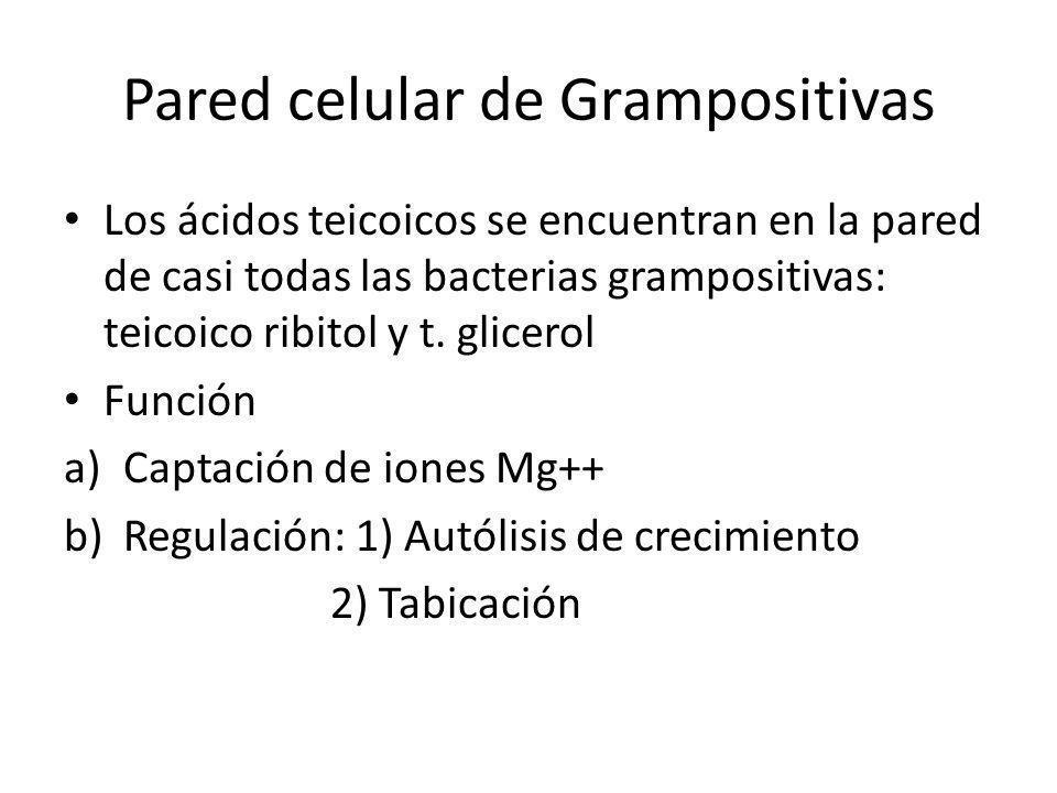 Pared celular de Grampositivas Los ácidos teicoicos se encuentran en la pared de casi todas las bacterias grampositivas: teicoico ribitol y t. glicero