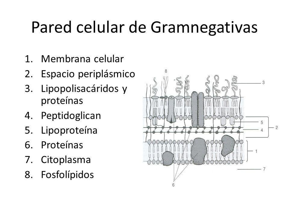 Pared celular de Gramnegativas 1.Membrana celular 2.Espacio periplásmico 3.Lipopolisacáridos y proteínas 4.Peptidoglican 5.Lipoproteína 6.Proteínas 7.