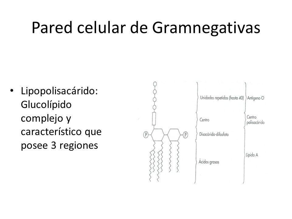 Pared celular de Gramnegativas Lipopolisacárido: Glucolípido complejo y característico que posee 3 regiones