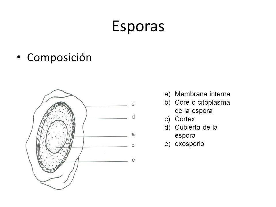 Esporas Composición a)Membrana interna b)Core o citoplasma de la espora c)Córtex d)Cubierta de la espora e)exosporio