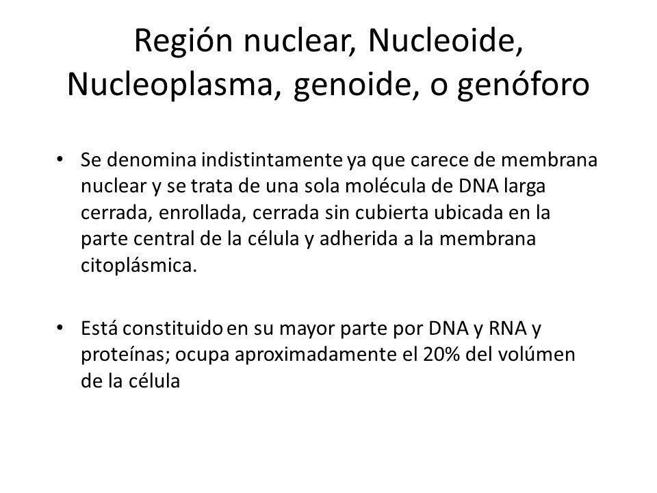Región nuclear, Nucleoide, Nucleoplasma, genoide, o genóforo Se denomina indistintamente ya que carece de membrana nuclear y se trata de una sola molé