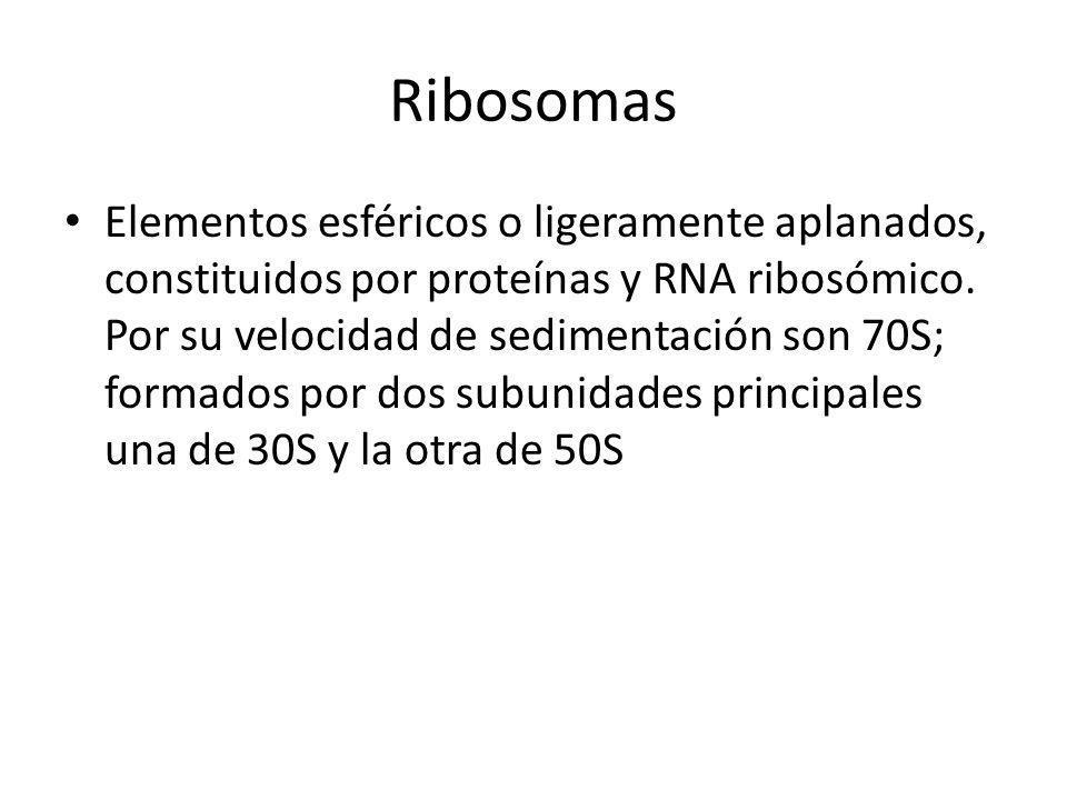 Ribosomas Elementos esféricos o ligeramente aplanados, constituidos por proteínas y RNA ribosómico. Por su velocidad de sedimentación son 70S; formado