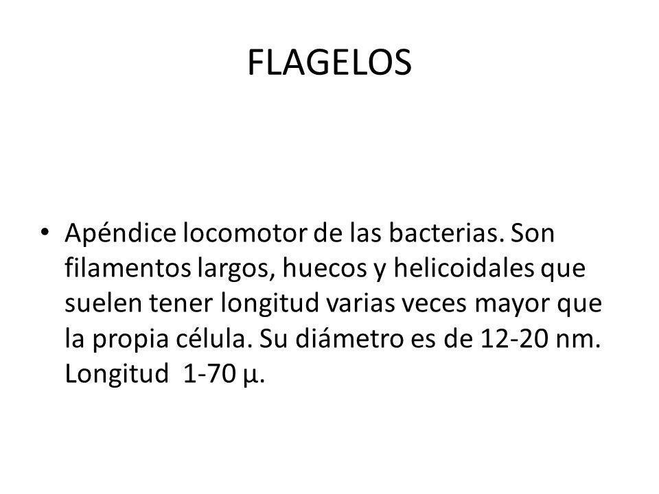 FLAGELOS Apéndice locomotor de las bacterias. Son filamentos largos, huecos y helicoidales que suelen tener longitud varias veces mayor que la propia