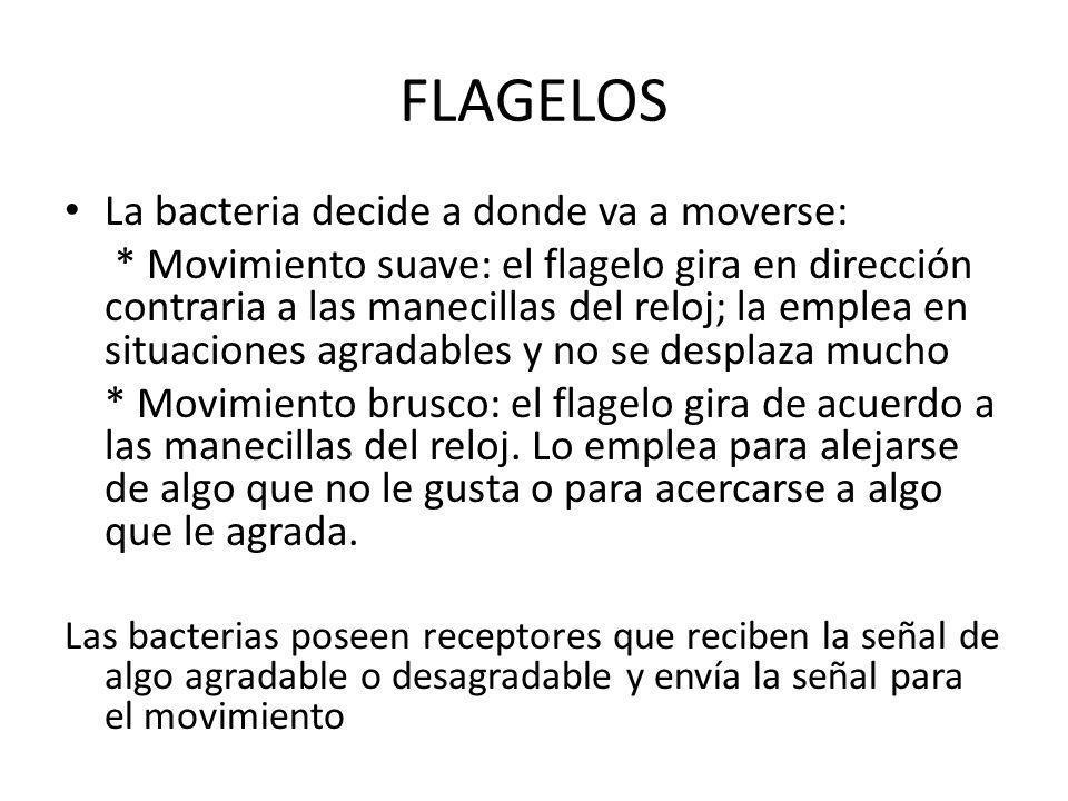 FLAGELOS La bacteria decide a donde va a moverse: * Movimiento suave: el flagelo gira en dirección contraria a las manecillas del reloj; la emplea en