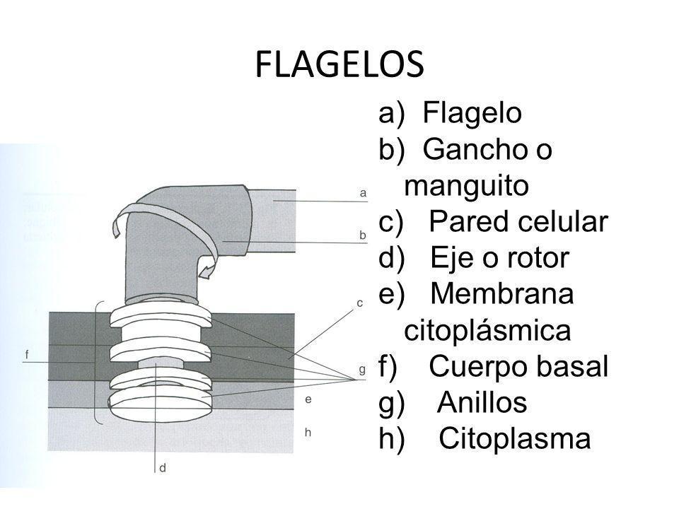 FLAGELOS a) Flagelo b) Gancho o manguito c) Pared celular d) Eje o rotor e) Membrana citoplásmica f) Cuerpo basal g) Anillos h) Citoplasma