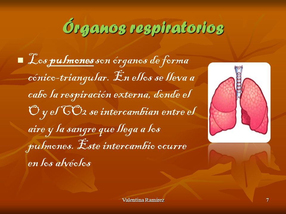 Órganos respiratorios Los pulmones son órganos de forma cónico-triangular. En ellos se lleva a cabo la respiración externa, donde el O y el CO2 se int