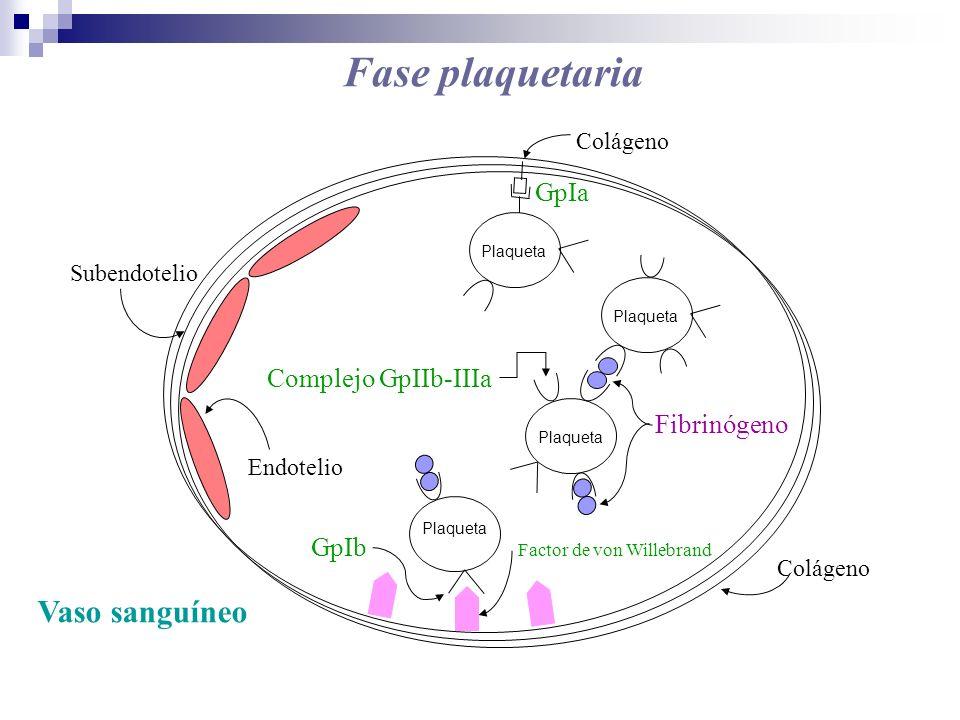 Subendotelio Colágeno Endotelio Complejo GpIIb-IIIa Fibrinógeno GpIb Factor de von Willebrand Plaqueta GpIa Colágeno Vaso sanguíneo