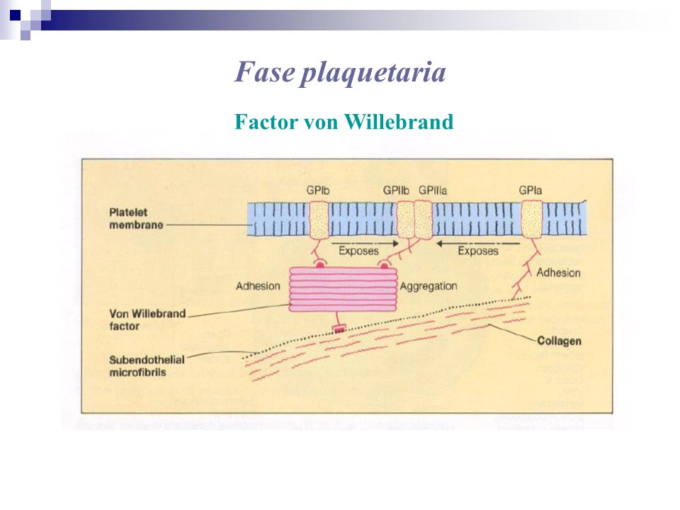 Fase plaquetaria Factor von Willebrand