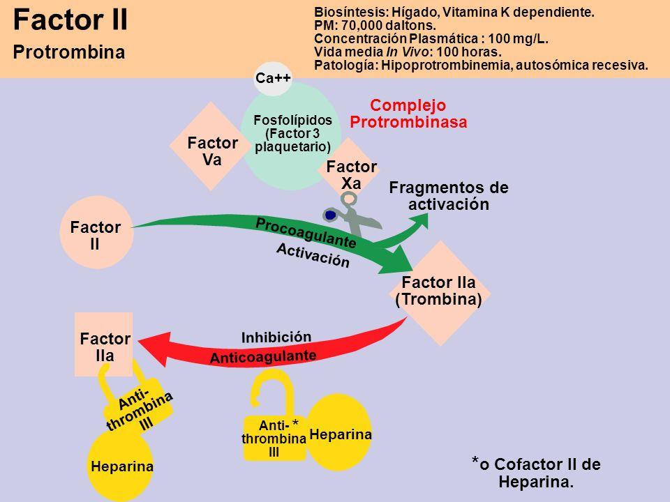 Factor II Protrombina Biosíntesis: Hígado, Vitamina K dependiente. PM: 70,000 daltons. Concentración Plasmática : 100 mg/L. Vida media In Vivo: 100 ho