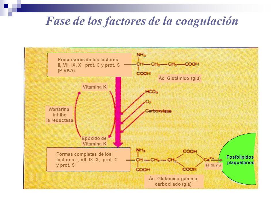 Fase de los factores de la coagulación Precursores de los factores II, VII. IX, X, prot. C y prot. S (PIVKA) Ác. Glutámico (glu) Formas completas de l