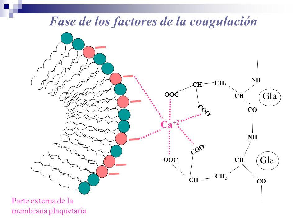 Fase de los factores de la coagulación - OOC CH CH 2 CH CH 2 CH CO NH COO - Ca +2 - OOC NH Parte externa de la membrana plaquetaria Gla