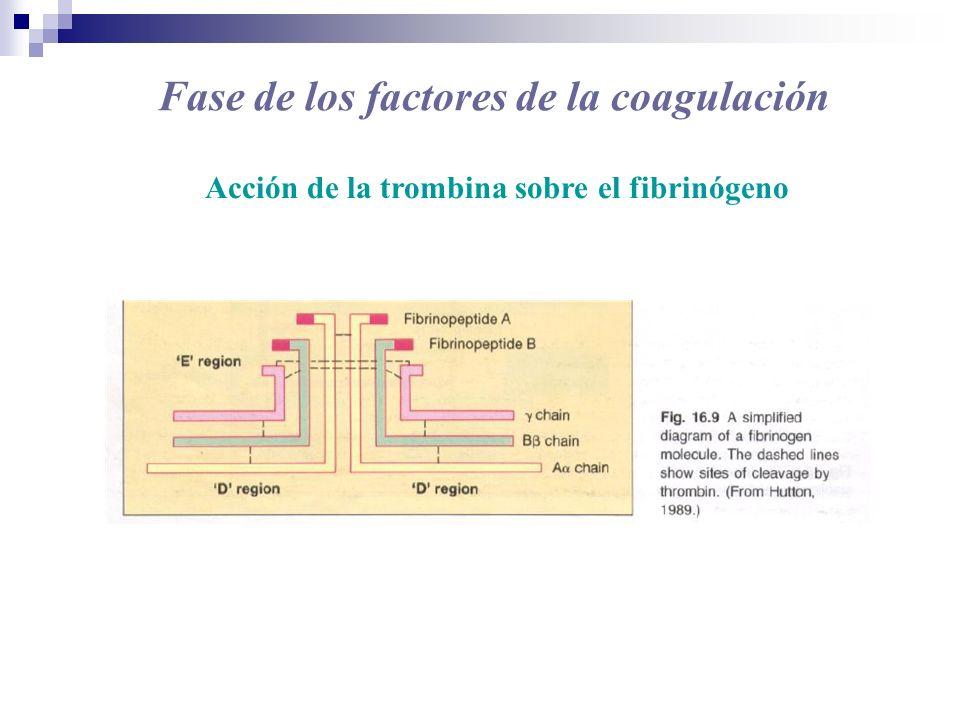Fase de los factores de la coagulación Acción de la trombina sobre el fibrinógeno