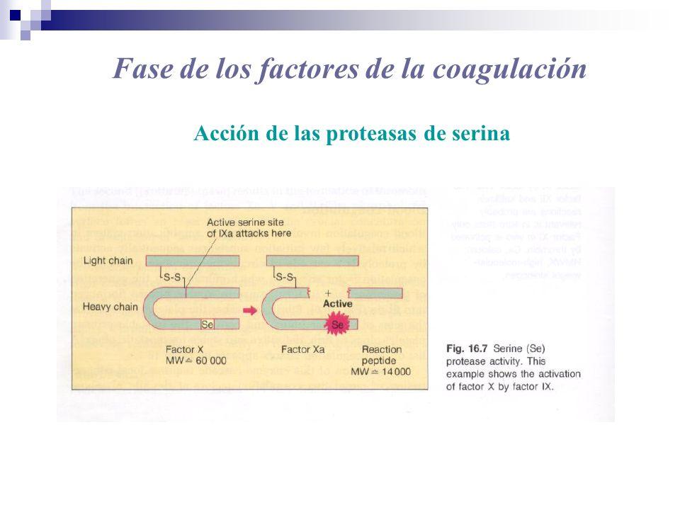 Fase de los factores de la coagulación Acción de las proteasas de serina