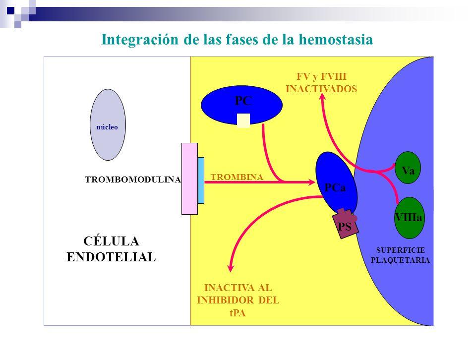 CÉLULA ENDOTELIAL SUPERFICIE PLAQUETARIA PCa PS TROMBINA PC FV y FVIII INACTIVADOS INACTIVA AL INHIBIDOR DEL tPA TROMBOMODULINA Va VIIIa núcleo Integración de las fases de la hemostasia