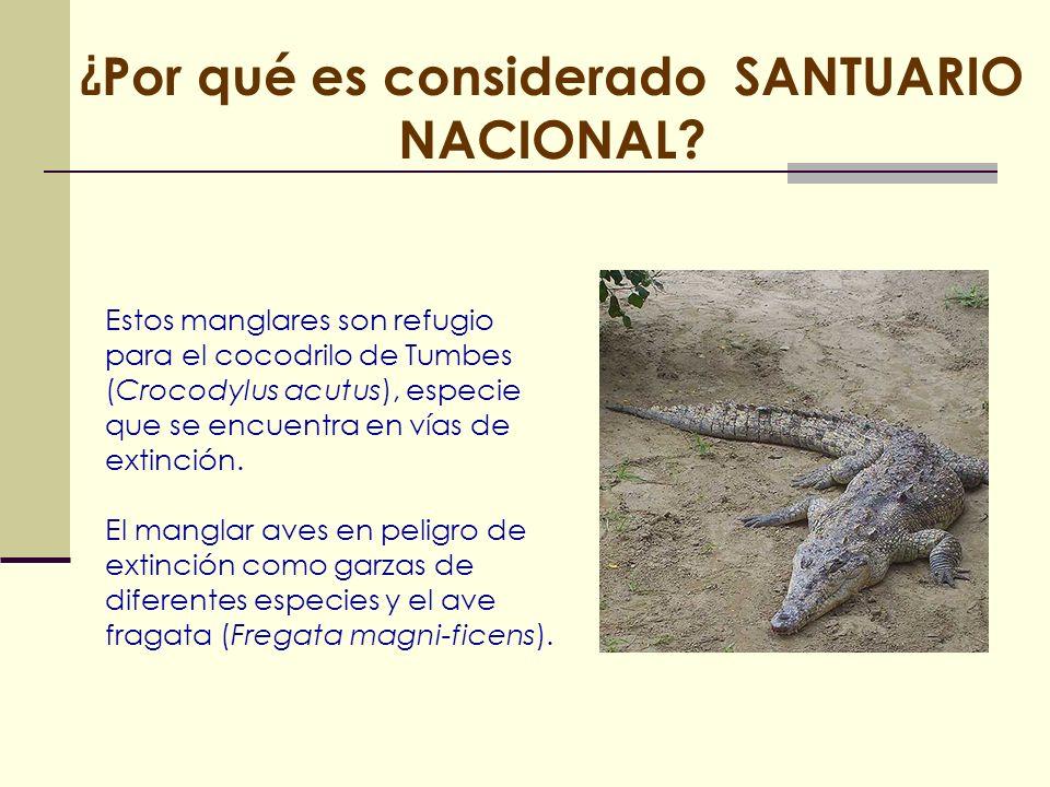 Estos manglares son refugio para el cocodrilo de Tumbes (Crocodylus acutus), especie que se encuentra en vías de extinción. El manglar aves en peligro