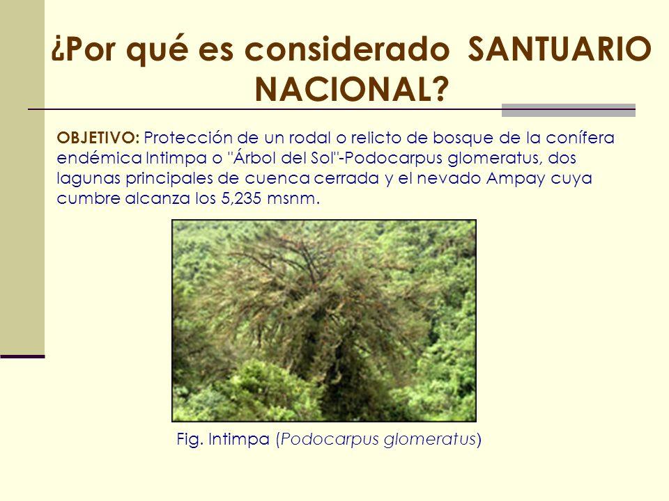 ¿ Por qué es considerado SANTUARIO NACIONAL? OBJETIVO: Protección de un rodal o relicto de bosque de la conífera endémica Intimpa o