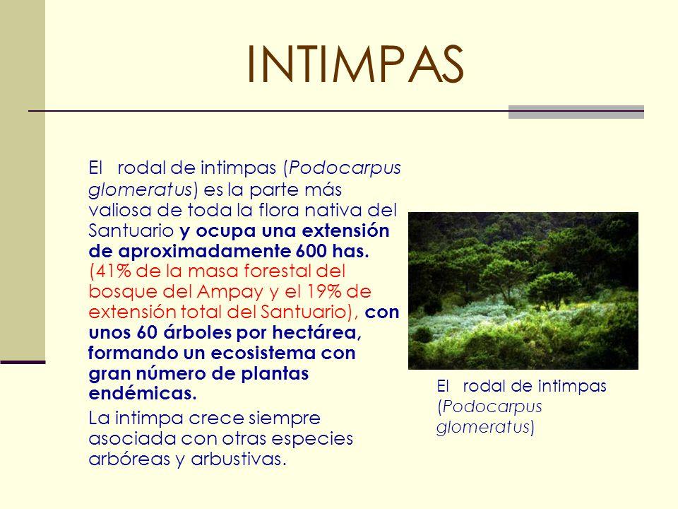 INTIMPAS El rodal de intimpas (Podocarpus glomeratus) es la parte más valiosa de toda la flora nativa del Santuario y ocupa una extensión de aproximad