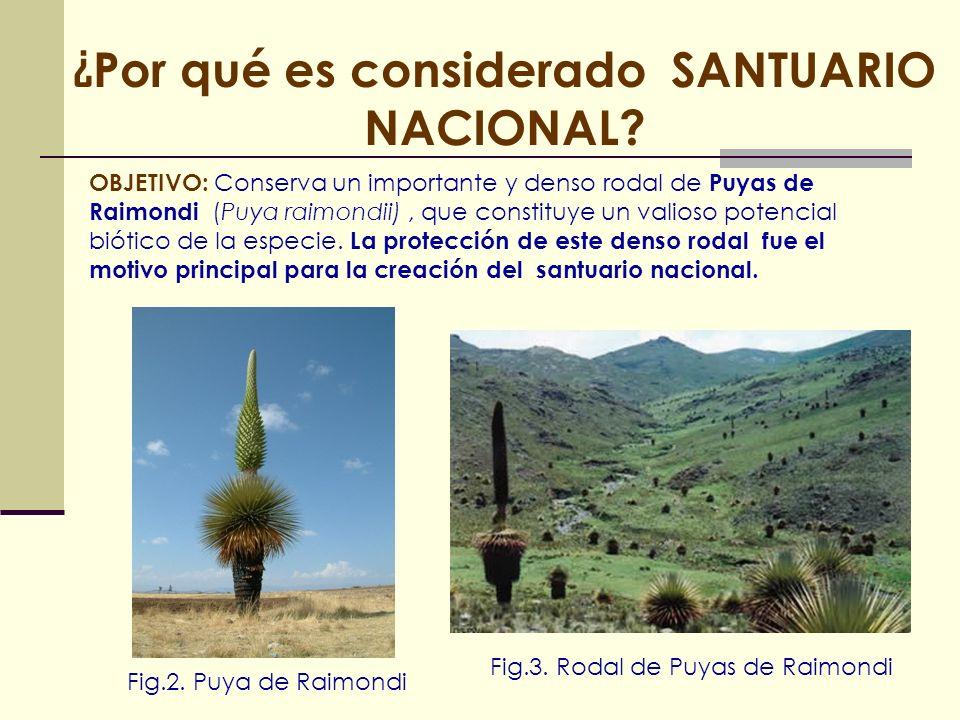 ¿ Por qué es considerado SANTUARIO NACIONAL? OBJETIVO: Conserva un importante y denso rodal de Puyas de Raimondi (Puya raimondii), que constituye un v