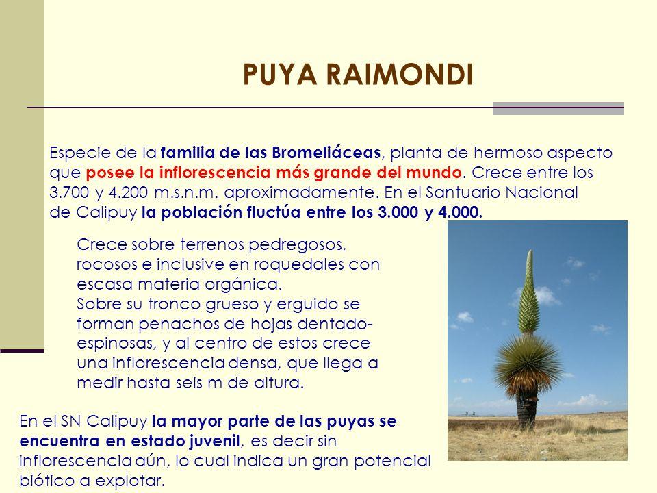 PUYA RAIMONDI Especie de la familia de las Bromeliáceas, planta de hermoso aspecto que posee la inflorescencia más grande del mundo. Crece entre los 3