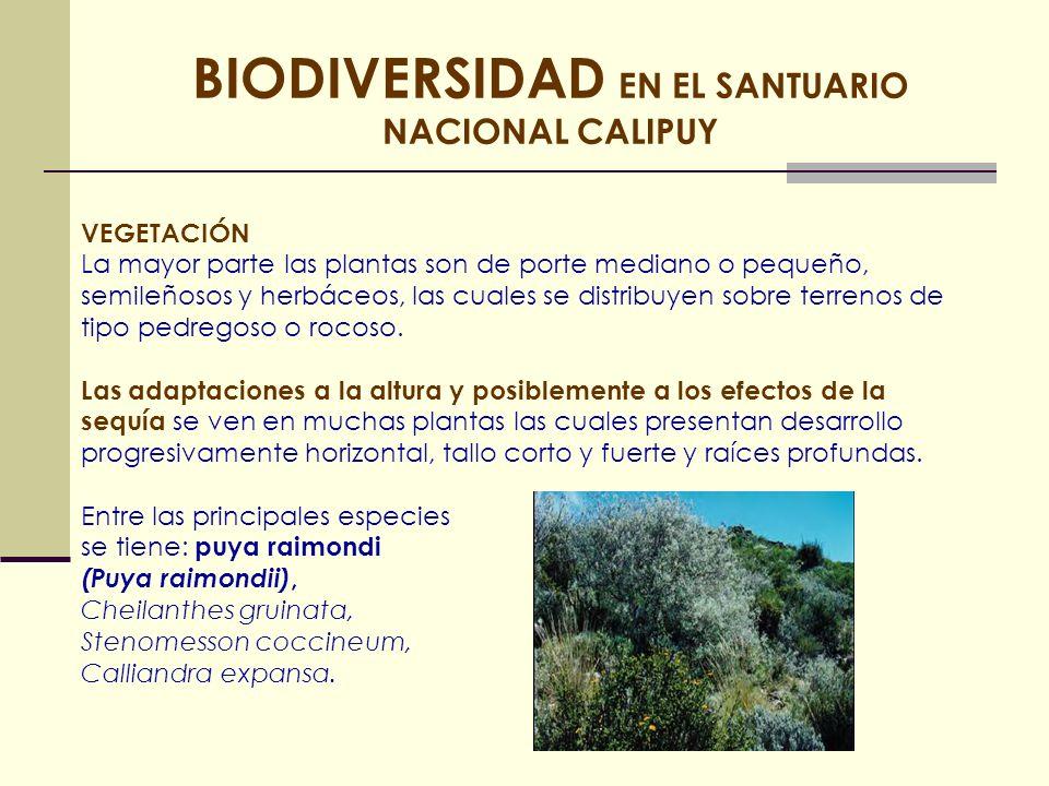 BIODIVERSIDAD EN EL SANTUARIO NACIONAL CALIPUY FAUNA Esta área natural protegida también presenta diversas especies de fauna entre las cuales destacan la vizcacha (Lagidium peruanum), la perdiz serrana (Nothoprocta pentlandii).