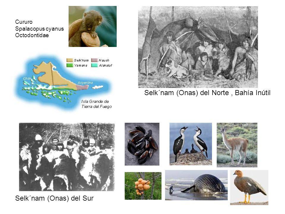 Selk´nam (Onas) del Norte, Bahía Inútil Selk´nam (Onas) del Sur Cururo Spalacopus cyanus Octodontidae