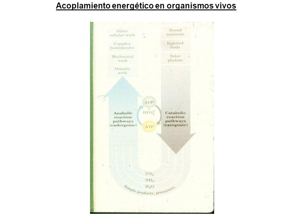 Acoplamiento energético en organismos vivos