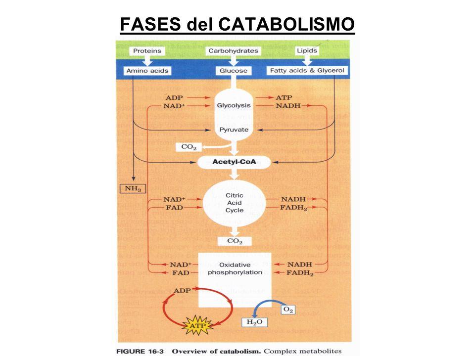 FASES del CATABOLISMO