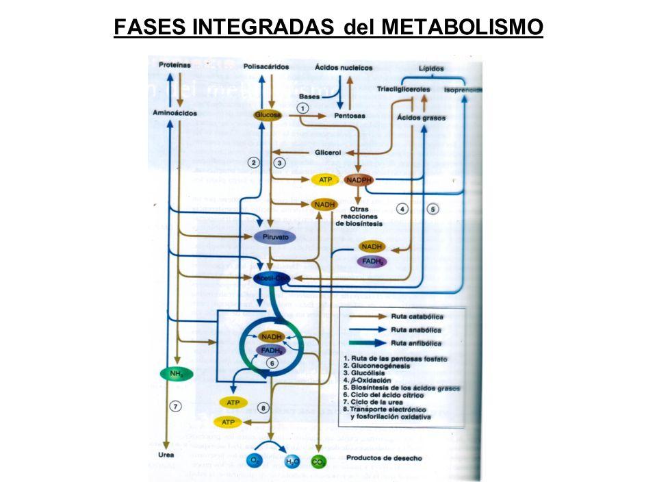 FASES INTEGRADAS del METABOLISMO